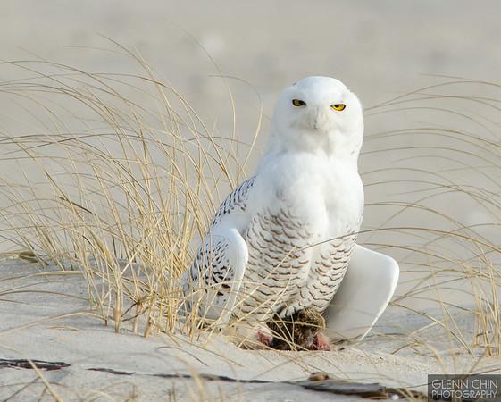 20131220_Snowy Owl_51