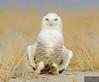 20131220_Snowy Owl_970