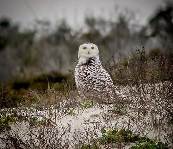 2014-01-06_Snowy Owl_Little Talbot Island,SP,Fl _IMG_3158