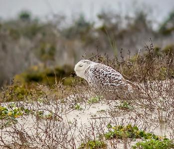 2014-01-06_Snowy Owl_Little Talbot Island,SP,Fl _IMG_3083