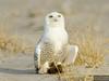 20131220_Snowy Owl_1079
