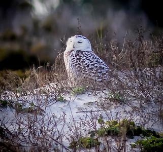 2014-01-06_Snowy Owl_Little Talbot Island,SP,Fl _IMG_3548