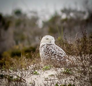 2014-01-06_Snowy Owl_Little Talbot Island,SP,Fl _IMG_3210
