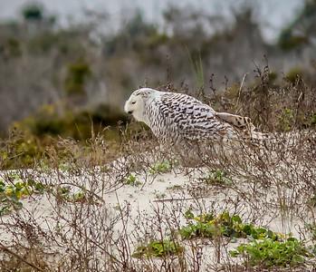 2014-01-06_Snowy Owl_Little Talbot Island,SP,Fl _IMG_3077