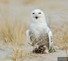 20131220_Snowy Owl_341