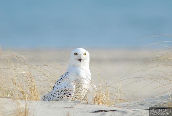 20131220_Snowy Owl_12