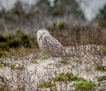 2014-01-06_Snowy Owl_Little Talbot Island,SP,Fl _IMG_3103