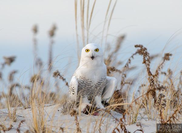 20131220_Snowy Owl_1866