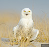 20131220_Snowy Owl_1032