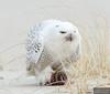 20131220_Snowy Owl_564