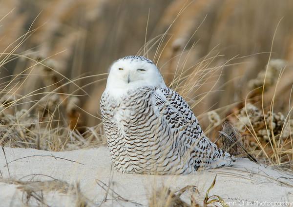 20131227_Snowy Owls_35