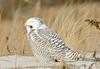 20131227_Snowy Owls_91