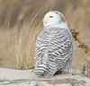 20131227_Snowy Owls_249