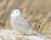 20131227_Snowy Owls_42