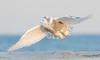 20131227_Snowy Owls_460
