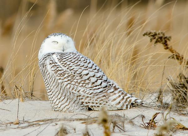 20131227_Snowy Owls_103