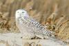20131227_Snowy Owls_55
