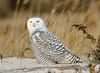 20131227_Snowy Owls_105