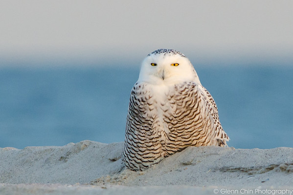 20131227_Snowy Owls_454
