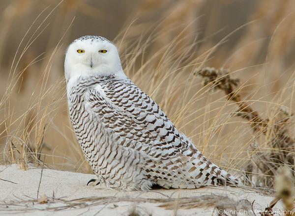 20131227_Snowy Owls_233