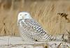 20131227_Snowy Owls_83