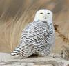 20131227_Snowy Owls_244