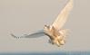 20131227_Snowy Owls_461