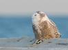 20131227_Snowy Owls_458