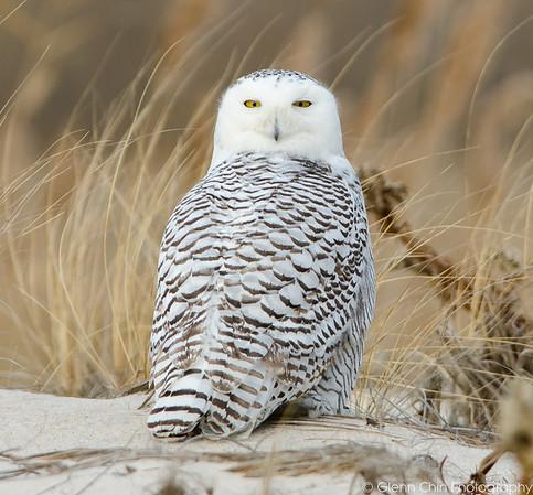 20131227_Snowy Owls_252