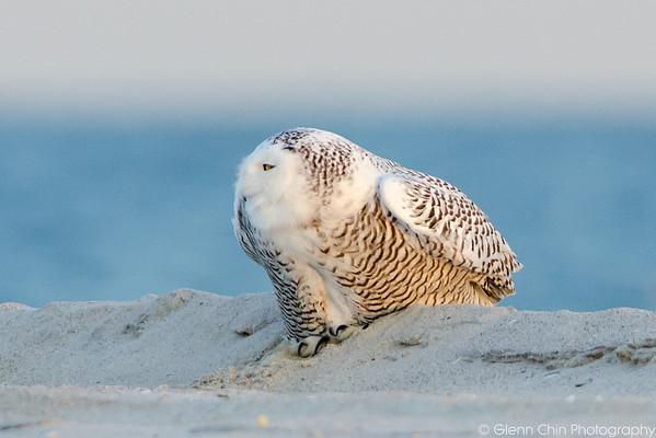 20131227_Snowy Owls_459