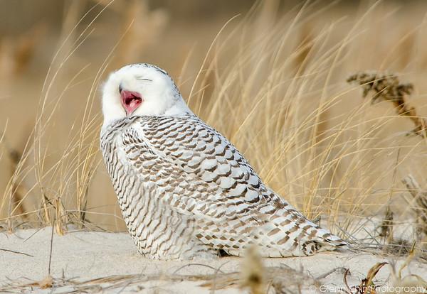 20131227_Snowy Owls_89