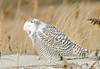 20131227_Snowy Owls_95