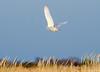 20131227_Snowy Owls_399