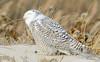 20131227_Snowy Owls_44