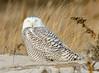 20131227_Snowy Owls_117