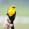 """Yellow Headed Blackbird, Ridgefield National Wildlife Refuge <div class=""""ss-paypal-button""""><br><form target=""""paypal"""" action=""""https://www.paypal.com/cgi-bin/webscr"""" method=""""post"""" ><input type=""""hidden"""" name=""""cmd"""" value=""""_cart""""><input type=""""hidden"""" name=""""business"""" value=""""947PXEXBHP9H8""""><input type=""""hidden"""" name=""""lc"""" value=""""US""""><input type=""""hidden"""" name=""""item_name"""" value=""""recent-33.jpg""""><input type=""""hidden"""" name=""""item_number"""" value=""""http://www.werthwildphotography.com/Animals/Birds/Song-Birds/i-23DrDkW""""><input type=""""hidden"""" name=""""button_subtype"""" value=""""products""""><input type=""""hidden"""" name=""""no_note"""" value=""""0""""><input type=""""hidden"""" name=""""cn"""" value=""""Add special instructions to the seller:""""><input type=""""hidden"""" name=""""no_shipping"""" value=""""2""""><input type=""""hidden"""" name=""""currency_code"""" value=""""USD""""><input type=""""hidden"""" name=""""shipping"""" value=""""4.00""""><input type=""""hidden"""" name=""""add"""" value=""""1""""><input type=""""hidden"""" name=""""bn"""" value=""""PP-ShopCartBF:btn_cart_LG.gif:NonHosted""""><table class=""""printSize""""><tr><td><input type=""""hidden"""" name=""""on0"""" value=""""Print size"""">Print size</td></tr><tr><td><select name=""""os0""""> <option value=""""5 x 7"""">5 x 7 $14.00 USD</option> <option value=""""8 x 10"""">8 x 10 $20.00 USD</option> <option value=""""8 x 12"""">8 x 12 $20.00 USD</option> <option value=""""11 x 14"""">11 x 14 $28.00 USD</option> <option value=""""12 x 18"""">12 x 18 $35.00 USD</option> <option value=""""16 x 20"""">16 x 20 $50.00 USD</option></select> </td></tr></table><input type=""""hidden"""" name=""""currency_code"""" value=""""USD""""><input type=""""hidden"""" name=""""option_select0"""" value=""""5 x 7""""><input type=""""hidden"""" name=""""option_amount0"""" value=""""14.00""""><input type=""""hidden"""" name=""""option_select1"""" value=""""8 x 10""""><input type=""""hidden"""" name=""""option_amount1"""" value=""""20.00""""><input type=""""hidden"""" name=""""option_select2"""" value=""""8 x 12""""><input type=""""hidden"""" name=""""option_amount2"""" value=""""20.00""""><input type=""""hidden"""" name=""""option_select3"""" value=""""11 x 14""""><input type=""""hidden"""" name=""""option_amount3"""" value=""""28.00""""><input type=""""hidden"""" name=""""option_select4"""" value=""""12 x 18"""""""
