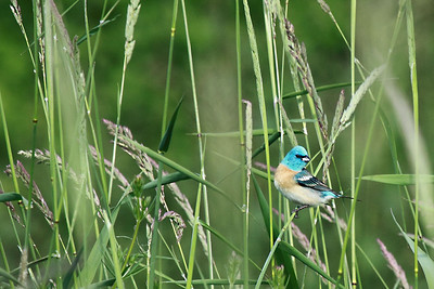 A Lazuli Bunting seen at the Tualatin River National Wildlife Refuge  Print size 5 x 7 $14.00 USD 8 x 10 $20.00 USD 8 x 12 $20.00 USD 11 x 14 $28.00 USD 12 x 18 $35.00 USD 16 x 20 $50.00 USD