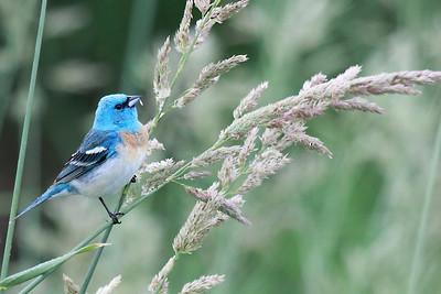 Lazuli Bunting, Ridgefield National Wildlife Refuge Print size 5 x 7 $14.00 USD 8 x 10 $20.00 USD 8 x 12 $20.00 USD 11 x 14 $28.00 USD 12 x 18 $35.00 USD 16 x 20 $50.00 USD