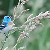 """Lazuli Bunting, Ridgefield National Wildlife Refuge <div class=""""ss-paypal-button""""><br><form target=""""paypal"""" action=""""https://www.paypal.com/cgi-bin/webscr"""" method=""""post"""" ><input type=""""hidden"""" name=""""cmd"""" value=""""_cart""""><input type=""""hidden"""" name=""""business"""" value=""""947PXEXBHP9H8""""><input type=""""hidden"""" name=""""lc"""" value=""""US""""><input type=""""hidden"""" name=""""item_name"""" value=""""4755422776_657ed17510_o.jpg""""><input type=""""hidden"""" name=""""item_number"""" value=""""http://www.werthwildphotography.com/Animals/Birds/Song-Birds/i-5Mnjg64""""><input type=""""hidden"""" name=""""button_subtype"""" value=""""products""""><input type=""""hidden"""" name=""""no_note"""" value=""""0""""><input type=""""hidden"""" name=""""cn"""" value=""""Add special instructions to the seller:""""><input type=""""hidden"""" name=""""no_shipping"""" value=""""2""""><input type=""""hidden"""" name=""""currency_code"""" value=""""USD""""><input type=""""hidden"""" name=""""shipping"""" value=""""4.00""""><input type=""""hidden"""" name=""""add"""" value=""""1""""><input type=""""hidden"""" name=""""bn"""" value=""""PP-ShopCartBF:btn_cart_LG.gif:NonHosted""""><table class=""""printSize""""><tr><td><input type=""""hidden"""" name=""""on0"""" value=""""Print size"""">Print size</td></tr><tr><td><select name=""""os0""""> <option value=""""5 x 7"""">5 x 7 $14.00 USD</option> <option value=""""8 x 10"""">8 x 10 $20.00 USD</option> <option value=""""8 x 12"""">8 x 12 $20.00 USD</option> <option value=""""11 x 14"""">11 x 14 $28.00 USD</option> <option value=""""12 x 18"""">12 x 18 $35.00 USD</option> <option value=""""16 x 20"""">16 x 20 $50.00 USD</option></select> </td></tr></table><input type=""""hidden"""" name=""""currency_code"""" value=""""USD""""><input type=""""hidden"""" name=""""option_select0"""" value=""""5 x 7""""><input type=""""hidden"""" name=""""option_amount0"""" value=""""14.00""""><input type=""""hidden"""" name=""""option_select1"""" value=""""8 x 10""""><input type=""""hidden"""" name=""""option_amount1"""" value=""""20.00""""><input type=""""hidden"""" name=""""option_select2"""" value=""""8 x 12""""><input type=""""hidden"""" name=""""option_amount2"""" value=""""20.00""""><input type=""""hidden"""" name=""""option_select3"""" value=""""11 x 14""""><input type=""""hidden"""" name=""""option_amount3"""" value=""""28.00""""><input type=""""hidden"""" name=""""option_select4"""" value=""""12 """