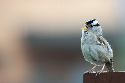 Singing in the rain, a White Crowned Sparrow, Ridgefield National Wildlife Refuge Print size 5 x 7 $14.00 USD 8 x 10 $20.00 USD 8 x 12 $20.00 USD 11 x 14 $28.00 USD 12 x 18 $35.00 USD 16 x 20 $50.00 USD