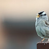 """Singing in the rain, a White Crowned Sparrow, Ridgefield National Wildlife Refuge <div class=""""ss-paypal-button""""><br><form target=""""paypal"""" action=""""https://www.paypal.com/cgi-bin/webscr"""" method=""""post"""" ><input type=""""hidden"""" name=""""cmd"""" value=""""_cart""""><input type=""""hidden"""" name=""""business"""" value=""""947PXEXBHP9H8""""><input type=""""hidden"""" name=""""lc"""" value=""""US""""><input type=""""hidden"""" name=""""item_name"""" value=""""4754809759_81c0f6ca78_o.jpg""""><input type=""""hidden"""" name=""""item_number"""" value=""""http://www.werthwildphotography.com/Animals/Birds/Song-Birds/i-7dDmxrJ""""><input type=""""hidden"""" name=""""button_subtype"""" value=""""products""""><input type=""""hidden"""" name=""""no_note"""" value=""""0""""><input type=""""hidden"""" name=""""cn"""" value=""""Add special instructions to the seller:""""><input type=""""hidden"""" name=""""no_shipping"""" value=""""2""""><input type=""""hidden"""" name=""""currency_code"""" value=""""USD""""><input type=""""hidden"""" name=""""shipping"""" value=""""4.00""""><input type=""""hidden"""" name=""""add"""" value=""""1""""><input type=""""hidden"""" name=""""bn"""" value=""""PP-ShopCartBF:btn_cart_LG.gif:NonHosted""""><table class=""""printSize""""><tr><td><input type=""""hidden"""" name=""""on0"""" value=""""Print size"""">Print size</td></tr><tr><td><select name=""""os0""""> <option value=""""5 x 7"""">5 x 7 $14.00 USD</option> <option value=""""8 x 10"""">8 x 10 $20.00 USD</option> <option value=""""8 x 12"""">8 x 12 $20.00 USD</option> <option value=""""11 x 14"""">11 x 14 $28.00 USD</option> <option value=""""12 x 18"""">12 x 18 $35.00 USD</option> <option value=""""16 x 20"""">16 x 20 $50.00 USD</option></select> </td></tr></table><input type=""""hidden"""" name=""""currency_code"""" value=""""USD""""><input type=""""hidden"""" name=""""option_select0"""" value=""""5 x 7""""><input type=""""hidden"""" name=""""option_amount0"""" value=""""14.00""""><input type=""""hidden"""" name=""""option_select1"""" value=""""8 x 10""""><input type=""""hidden"""" name=""""option_amount1"""" value=""""20.00""""><input type=""""hidden"""" name=""""option_select2"""" value=""""8 x 12""""><input type=""""hidden"""" name=""""option_amount2"""" value=""""20.00""""><input type=""""hidden"""" name=""""option_select3"""" value=""""11 x 14""""><input type=""""hidden"""" name=""""option_amount3"""" value=""""28.00""""><input type=""""hidden"""" na"""
