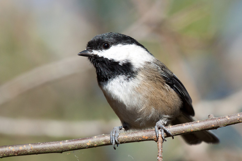 """Black Capped Chickadee, Refiel Migratory Bird Sanctuary, Delta BC  <div class=""""ss-paypal-button""""><br><form target=""""paypal"""" action=""""https://www.paypal.com/cgi-bin/webscr"""" method=""""post"""" ><input type=""""hidden"""" name=""""cmd"""" value=""""_cart""""><input type=""""hidden"""" name=""""business"""" value=""""947PXEXBHP9H8""""><input type=""""hidden"""" name=""""lc"""" value=""""US""""><input type=""""hidden"""" name=""""item_name"""" value=""""An adult bald eagle looking for fish in Salmon Creek right next to Klineline Park in Vancouver, WA.""""><input type=""""hidden"""" name=""""item_number"""" value=""""http://www.werthwildphotography.com/Animals/Birds/Eagles/i-4Sgp3XF""""><input type=""""hidden"""" name=""""button_subtype"""" value=""""products""""><input type=""""hidden"""" name=""""no_note"""" value=""""0""""><input type=""""hidden"""" name=""""cn"""" value=""""Add special instructions to the seller:""""><input type=""""hidden"""" name=""""no_shipping"""" value=""""2""""><input type=""""hidden"""" name=""""currency_code"""" value=""""USD""""><input type=""""hidden"""" name=""""shipping"""" value=""""4.00""""><input type=""""hidden"""" name=""""add"""" value=""""1""""><input type=""""hidden"""" name=""""bn"""" value=""""PP-ShopCartBF:btn_cart_LG.gif:NonHosted""""><table class=""""printSize""""><tr><td><input type=""""hidden"""" name=""""on0"""" value=""""Print size"""">Print size</td></tr><tr><td><select name=""""os0""""> <option value=""""5 x 7"""">5 x 7 $14.00 USD</option> <option value=""""8 x 10"""">8 x 10 $20.00 USD</option> <option value=""""8 x 12"""">8 x 12 $20.00 USD</option> <option value=""""11 x 14"""">11 x 14 $28.00 USD</option> <option value=""""12 x 18"""">12 x 18 $35.00 USD</option> <option value=""""16 x 20"""">16 x 20 $50.00 USD</option></select> </td></tr></table><input type=""""hidden"""" name=""""currency_code"""" value=""""USD""""><input type=""""hidden"""" name=""""option_select0"""" value=""""5 x 7""""><input type=""""hidden"""" name=""""option_amount0"""" value=""""14.00""""><input type=""""hidden"""" name=""""option_select1"""" value=""""8 x 10""""><input type=""""hidden"""" name=""""option_amount1"""" value=""""20.00""""><input type=""""hidden"""" name=""""option_select2"""" value=""""8 x 12""""><input type=""""hidden"""" name=""""option_amount2"""" value=""""20.00""""><input type=""""hidden"""" name=""""option_select3"""" value=""""11 x 14""""><input type=""""hidden"""" name="""""""