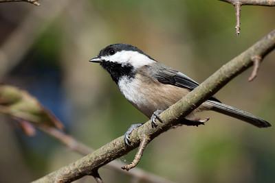 Black Capped Chickadee, Refiel Migratory Bird Sanctuary, Delta BC  Print size 5 x 7 $14.00 USD 8 x 10 $20.00 USD 8 x 12 $20.00 USD 11 x 14 $28.00 USD 12 x 18 $35.00 USD 16 x 20 $50.00 USD