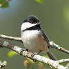 """A little chickadee taking a break from hollowing out a nest  <div class=""""ss-paypal-button""""><br><form target=""""paypal"""" action=""""https://www.paypal.com/cgi-bin/webscr"""" method=""""post"""" ><input type=""""hidden"""" name=""""cmd"""" value=""""_cart""""><input type=""""hidden"""" name=""""business"""" value=""""947PXEXBHP9H8""""><input type=""""hidden"""" name=""""lc"""" value=""""US""""><input type=""""hidden"""" name=""""item_name"""" value=""""A little chickadee taking a break from hollowing out a nest""""><input type=""""hidden"""" name=""""item_number"""" value=""""http://www.werthwildphotography.com/Animals/Birds/Song-Birds/i-Drg4x6p""""><input type=""""hidden"""" name=""""button_subtype"""" value=""""products""""><input type=""""hidden"""" name=""""no_note"""" value=""""0""""><input type=""""hidden"""" name=""""cn"""" value=""""Add special instructions to the seller:""""><input type=""""hidden"""" name=""""no_shipping"""" value=""""2""""><input type=""""hidden"""" name=""""currency_code"""" value=""""USD""""><input type=""""hidden"""" name=""""shipping"""" value=""""4.00""""><input type=""""hidden"""" name=""""add"""" value=""""1""""><input type=""""hidden"""" name=""""bn"""" value=""""PP-ShopCartBF:btn_cart_LG.gif:NonHosted""""><table class=""""printSize""""><tr><td><input type=""""hidden"""" name=""""on0"""" value=""""Print size"""">Print size</td></tr><tr><td><select name=""""os0""""> <option value=""""5 x 7"""">5 x 7 $14.00 USD</option> <option value=""""8 x 10"""">8 x 10 $20.00 USD</option> <option value=""""8 x 12"""">8 x 12 $20.00 USD</option> <option value=""""11 x 14"""">11 x 14 $28.00 USD</option> <option value=""""12 x 18"""">12 x 18 $35.00 USD</option> <option value=""""16 x 20"""">16 x 20 $50.00 USD</option></select> </td></tr></table><input type=""""hidden"""" name=""""currency_code"""" value=""""USD""""><input type=""""hidden"""" name=""""option_select0"""" value=""""5 x 7""""><input type=""""hidden"""" name=""""option_amount0"""" value=""""14.00""""><input type=""""hidden"""" name=""""option_select1"""" value=""""8 x 10""""><input type=""""hidden"""" name=""""option_amount1"""" value=""""20.00""""><input type=""""hidden"""" name=""""option_select2"""" value=""""8 x 12""""><input type=""""hidden"""" name=""""option_amount2"""" value=""""20.00""""><input type=""""hidden"""" name=""""option_select3"""" value=""""11 x 14""""><input type=""""hidden"""" name=""""option_amount3"""" value=""""28.00""""><input type="""
