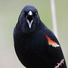 """Red wing blackbird singing his song a top a very prickly blackberry bush. Seen at Ridgefield National Wildlife Refuge  <div class=""""ss-paypal-button""""><br><form target=""""paypal"""" action=""""https://www.paypal.com/cgi-bin/webscr"""" method=""""post"""" ><input type=""""hidden"""" name=""""cmd"""" value=""""_cart""""><input type=""""hidden"""" name=""""business"""" value=""""947PXEXBHP9H8""""><input type=""""hidden"""" name=""""lc"""" value=""""US""""><input type=""""hidden"""" name=""""item_name"""" value=""""Red wing blackbird singing his song a top a very prickly blackberry bush. Seen at Ridgefield National Wildlife Refuge""""><input type=""""hidden"""" name=""""item_number"""" value=""""http://www.werthwildphotography.com/Animals/Birds/Song-Birds/i-GJm3MNJ""""><input type=""""hidden"""" name=""""button_subtype"""" value=""""products""""><input type=""""hidden"""" name=""""no_note"""" value=""""0""""><input type=""""hidden"""" name=""""cn"""" value=""""Add special instructions to the seller:""""><input type=""""hidden"""" name=""""no_shipping"""" value=""""2""""><input type=""""hidden"""" name=""""currency_code"""" value=""""USD""""><input type=""""hidden"""" name=""""shipping"""" value=""""4.00""""><input type=""""hidden"""" name=""""add"""" value=""""1""""><input type=""""hidden"""" name=""""bn"""" value=""""PP-ShopCartBF:btn_cart_LG.gif:NonHosted""""><table class=""""printSize""""><tr><td><input type=""""hidden"""" name=""""on0"""" value=""""Print size"""">Print size</td></tr><tr><td><select name=""""os0""""> <option value=""""5 x 7"""">5 x 7 $14.00 USD</option> <option value=""""8 x 10"""">8 x 10 $20.00 USD</option> <option value=""""8 x 12"""">8 x 12 $20.00 USD</option> <option value=""""11 x 14"""">11 x 14 $28.00 USD</option> <option value=""""12 x 18"""">12 x 18 $35.00 USD</option> <option value=""""16 x 20"""">16 x 20 $50.00 USD</option></select> </td></tr></table><input type=""""hidden"""" name=""""currency_code"""" value=""""USD""""><input type=""""hidden"""" name=""""option_select0"""" value=""""5 x 7""""><input type=""""hidden"""" name=""""option_amount0"""" value=""""14.00""""><input type=""""hidden"""" name=""""option_select1"""" value=""""8 x 10""""><input type=""""hidden"""" name=""""option_amount1"""" value=""""20.00""""><input type=""""hidden"""" name=""""option_select2"""" value=""""8 x 12""""><input type=""""hidden"""" name=""""option_amount2"""" value=""""20.00""""><input type="""