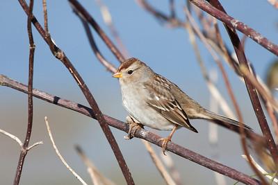 Immature White Crowned Sparrow, Refiel Migratory Bird Sanctuary, Delta BC  Print size 5 x 7 $14.00 USD 8 x 10 $20.00 USD 8 x 12 $20.00 USD 11 x 14 $28.00 USD 12 x 18 $35.00 USD 16 x 20 $50.00 USD