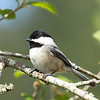 """A little chickadee taking a break from hollowing out a nest  <div class=""""ss-paypal-button""""><br><form target=""""paypal"""" action=""""https://www.paypal.com/cgi-bin/webscr"""" method=""""post"""" ><input type=""""hidden"""" name=""""cmd"""" value=""""_cart""""><input type=""""hidden"""" name=""""business"""" value=""""947PXEXBHP9H8""""><input type=""""hidden"""" name=""""lc"""" value=""""US""""><input type=""""hidden"""" name=""""item_name"""" value=""""A little chickadee taking a break from hollowing out a nest""""><input type=""""hidden"""" name=""""item_number"""" value=""""http://www.werthwildphotography.com/Animals/Birds/Song-Birds/i-SjMSQTh""""><input type=""""hidden"""" name=""""button_subtype"""" value=""""products""""><input type=""""hidden"""" name=""""no_note"""" value=""""0""""><input type=""""hidden"""" name=""""cn"""" value=""""Add special instructions to the seller:""""><input type=""""hidden"""" name=""""no_shipping"""" value=""""2""""><input type=""""hidden"""" name=""""currency_code"""" value=""""USD""""><input type=""""hidden"""" name=""""shipping"""" value=""""4.00""""><input type=""""hidden"""" name=""""add"""" value=""""1""""><input type=""""hidden"""" name=""""bn"""" value=""""PP-ShopCartBF:btn_cart_LG.gif:NonHosted""""><table class=""""printSize""""><tr><td><input type=""""hidden"""" name=""""on0"""" value=""""Print size"""">Print size</td></tr><tr><td><select name=""""os0""""> <option value=""""5 x 7"""">5 x 7 $14.00 USD</option> <option value=""""8 x 10"""">8 x 10 $20.00 USD</option> <option value=""""8 x 12"""">8 x 12 $20.00 USD</option> <option value=""""11 x 14"""">11 x 14 $28.00 USD</option> <option value=""""12 x 18"""">12 x 18 $35.00 USD</option> <option value=""""16 x 20"""">16 x 20 $50.00 USD</option></select> </td></tr></table><input type=""""hidden"""" name=""""currency_code"""" value=""""USD""""><input type=""""hidden"""" name=""""option_select0"""" value=""""5 x 7""""><input type=""""hidden"""" name=""""option_amount0"""" value=""""14.00""""><input type=""""hidden"""" name=""""option_select1"""" value=""""8 x 10""""><input type=""""hidden"""" name=""""option_amount1"""" value=""""20.00""""><input type=""""hidden"""" name=""""option_select2"""" value=""""8 x 12""""><input type=""""hidden"""" name=""""option_amount2"""" value=""""20.00""""><input type=""""hidden"""" name=""""option_select3"""" value=""""11 x 14""""><input type=""""hidden"""" name=""""option_amount3"""" value=""""28.00""""><input type="""