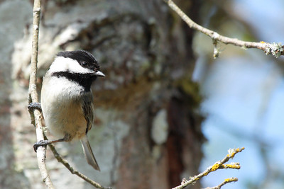 A little chickadee taking a break from hollowing out a nest  Print size 5 x 7 $14.00 USD 8 x 10 $20.00 USD 8 x 12 $20.00 USD 11 x 14 $28.00 USD 12 x 18 $35.00 USD 16 x 20 $50.00 USD