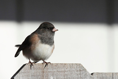 A dark eyed junco looking pretty on top of the fence in the front yard  Print size 5 x 7 $14.00 USD 8 x 10 $20.00 USD 8 x 12 $20.00 USD 11 x 14 $28.00 USD 12 x 18 $35.00 USD 16 x 20 $50.00 USD