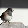 """A dark eyed junco looking pretty on top of the fence in the front yard  <div class=""""ss-paypal-button""""><br><form target=""""paypal"""" action=""""https://www.paypal.com/cgi-bin/webscr"""" method=""""post"""" ><input type=""""hidden"""" name=""""cmd"""" value=""""_cart""""><input type=""""hidden"""" name=""""business"""" value=""""947PXEXBHP9H8""""><input type=""""hidden"""" name=""""lc"""" value=""""US""""><input type=""""hidden"""" name=""""item_name"""" value=""""A dark eyed junco looking pretty on top of the fence in the front yard""""><input type=""""hidden"""" name=""""item_number"""" value=""""http://www.werthwildphotography.com/Animals/Birds/Song-Birds/i-V8Crbb4""""><input type=""""hidden"""" name=""""button_subtype"""" value=""""products""""><input type=""""hidden"""" name=""""no_note"""" value=""""0""""><input type=""""hidden"""" name=""""cn"""" value=""""Add special instructions to the seller:""""><input type=""""hidden"""" name=""""no_shipping"""" value=""""2""""><input type=""""hidden"""" name=""""currency_code"""" value=""""USD""""><input type=""""hidden"""" name=""""shipping"""" value=""""4.00""""><input type=""""hidden"""" name=""""add"""" value=""""1""""><input type=""""hidden"""" name=""""bn"""" value=""""PP-ShopCartBF:btn_cart_LG.gif:NonHosted""""><table class=""""printSize""""><tr><td><input type=""""hidden"""" name=""""on0"""" value=""""Print size"""">Print size</td></tr><tr><td><select name=""""os0""""> <option value=""""5 x 7"""">5 x 7 $14.00 USD</option> <option value=""""8 x 10"""">8 x 10 $20.00 USD</option> <option value=""""8 x 12"""">8 x 12 $20.00 USD</option> <option value=""""11 x 14"""">11 x 14 $28.00 USD</option> <option value=""""12 x 18"""">12 x 18 $35.00 USD</option> <option value=""""16 x 20"""">16 x 20 $50.00 USD</option></select> </td></tr></table><input type=""""hidden"""" name=""""currency_code"""" value=""""USD""""><input type=""""hidden"""" name=""""option_select0"""" value=""""5 x 7""""><input type=""""hidden"""" name=""""option_amount0"""" value=""""14.00""""><input type=""""hidden"""" name=""""option_select1"""" value=""""8 x 10""""><input type=""""hidden"""" name=""""option_amount1"""" value=""""20.00""""><input type=""""hidden"""" name=""""option_select2"""" value=""""8 x 12""""><input type=""""hidden"""" name=""""option_amount2"""" value=""""20.00""""><input type=""""hidden"""" name=""""option_select3"""" value=""""11 x 14""""><input type=""""hidden"""" name=""""option_amount3"""" valu"""